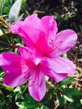 Bunga Raya Royalty Free Stock Photography