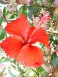 Bunga Raya Stock Photo