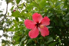 Bunga Raya dans le jardin Photo stock