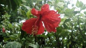 Bunga Raya flower Royalty Free Stock Photos