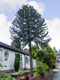 Bungalow with Monkey Puzzle Tree in the Picturesque Town of Sandbach in South Cheshire England Stock Image