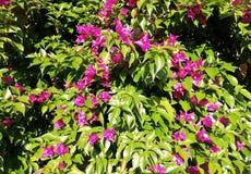 Bungavilla. Decorative purple flower climbing plant royalty free stock photo
