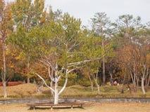 Bunge`s pine / lacebark pine / white-barked pine Pinus bungeana royalty free stock photo