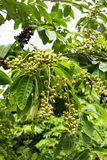 Bungor树 库存图片