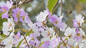 Bungor flower in the wind. Pink and white flower of Bungor Lagerstroemia floribunda Jack in the wind stock footage