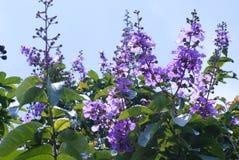 Bungur & x28; indonesia& x29; o Magnoliopsida della lythraceae fotografia stock libera da diritti