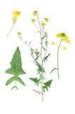 Bunias orientalis Royalty Free Stock Photography