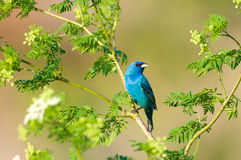 Bunitng d'indigo dans un arbre Photos libres de droits