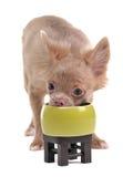 bunkechihuahua som äter den roliga gröna valpen Royaltyfri Foto