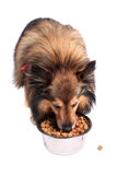 bunkehund som äter mat Arkivbild