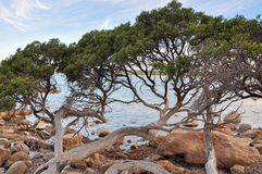 Bunker Bay: Low-lying Coastal Trees Royalty Free Stock Photo