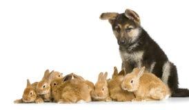 bunnies γερμανικός ποιμένας Στοκ Φωτογραφίες