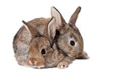 bunnies χαριτωμένα δύο Στοκ Εικόνες