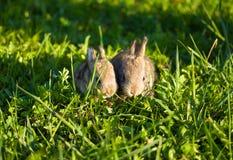 bunnies χλόη γκρίζα πράσινα δύο Στοκ Εικόνα