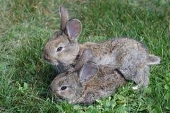 bunnies δύο Στοκ φωτογραφίες με δικαίωμα ελεύθερης χρήσης