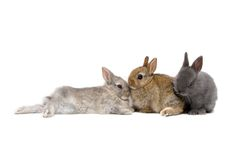Bunnies 03. Three Netherland Dwarf bunnies on white background Royalty Free Stock Image