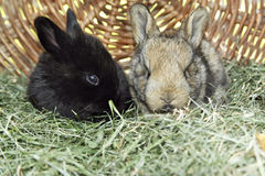 Bunnies. Little bunnies on grass in a basket Stock Photography