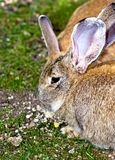 Bunnies Royalty Free Stock Image