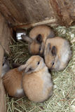 Bunnies. Bunny rabbits relaxing in the straw stock photography
