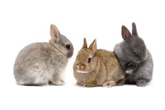 Bunnies. Three cute Netherland dwarf bunnies on white background Royalty Free Stock Photo