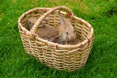 Bunnies in basket Royalty Free Stock Photography