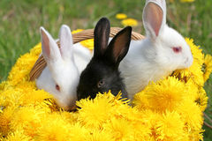 Bunnies basket Stock Images