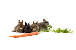 Bunnies and a Carrot. Four Netherland dwarf bunnies and a carrot, isolated on white background Stock Photo