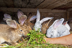 Bunnies eating. A group of bunnies eating fresh grass from a man's hand Stock Photos