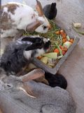 Bunnies eating. Several bunnies eating carrots and other vegetables Stock Image