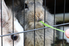 Bunnies eating grass. Bunnies on the farm near the city center are eating grass Royalty Free Stock Photo