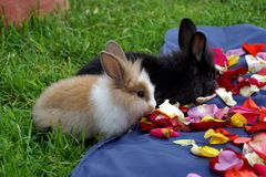 Bunnies eating rose petals. Two baby bunnies in the grass, eating rose petals placed on a blue surface in Cotacachi, Ecuador royalty free stock photos