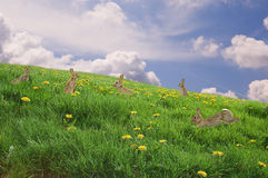 Bunnies in a fresh meadow. Easter Concept: Bunnies in a meadow with blue sky Stock Photography