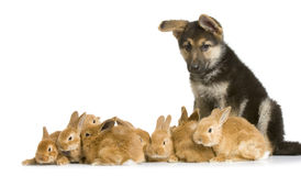Bunnies and german shepherd. German shepherd puppy garding group of bunnies in front of a white background Stock Photos