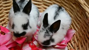 Bunnies having dessert. Two white and black rabbits eating rose petals in a basket stock video