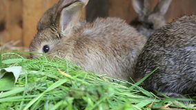 Bunnies in hutch eating fresh grass. Cute bunnies in hutch eating fresh grass stock video