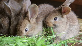 Bunnies in hutch eating fresh grass. Cute bunnies in hutch eating fresh grass stock footage