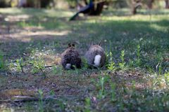 Bunnies on Lokrum Island, Croatia royalty free stock images