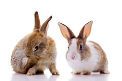 Bunnies. Two bunnies, looking at the camera. Isolated on white royalty free stock photography
