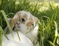 Bunnies Stock Image