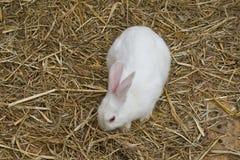 bunny λευκό Στοκ Φωτογραφία