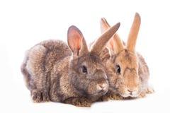 bunny μωρών χαριτωμένο τα κουνέλια μητέρων εκμετάλλευσής της Στοκ Εικόνα