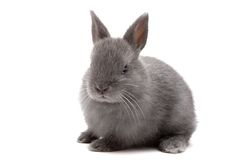 Bunny 1. Cute Netherland Dwarf bunny on white background Royalty Free Stock Photography