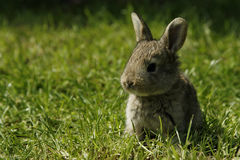 Bunny. Little brown bunny in the grass Stock Photo