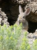 Bunny. Rabbit peeking out of hole stock image