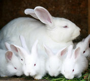 Bunny. White rabbits with red eyes and very fluffy Royalty Free Stock Images