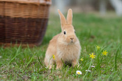 Bunny royalty free stock photo