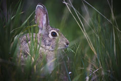 Bunny. Little Bunny eating straw - taken in Colorado Rockies Royalty Free Stock Photo