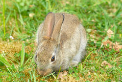 Bunny. Rabbit eating grass on a meadow Stock Photos