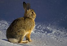 Bunny. North American Cottontail Rabit as photographed in winter snow Royalty Free Stock Images