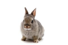 Bunny. Netherland Dwarf bunny on white background Stock Images